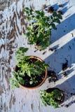 Малый завод томата в предпосылке горной цепи пустыни Мохаве натюрморта бака Стоковая Фотография RF