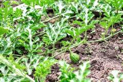 Малый зеленый арбуз на поле молодой росток арбуза растя в саде Стоковая Фотография