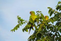 Малый зеленый попугай в одичалой природе Стоковое Фото