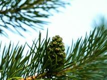 Малый зеленый сибирский конус кедра на ветви Стоковые Фотографии RF