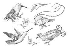 Малый колибри Rufous и Бело-necked Jacobin, райская птица Экзотические тропические животные значки Замкнутое золотое иллюстрация вектора