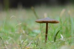 Малый коричневый гриб в поле стоковое изображение rf