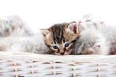 Малый коричневый цвет striped пушистый голубоглазый котенок сидя среди других милых серых кисок в белой плетеной корзине пока пре Стоковое фото RF