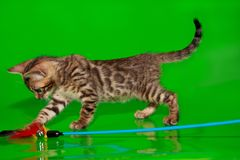 Малый котенок Бенгалии играет с его игрушкой стоковое изображение rf