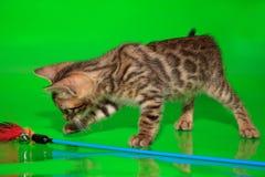 Малый котенок Бенгалии играет с его игрушкой стоковые фото