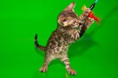 Малый котенок Бенгалии играет с его игрушкой стоковые изображения rf
