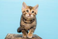 Малый котенок Бенгалии, на голубой предпосылке идет стоковое фото