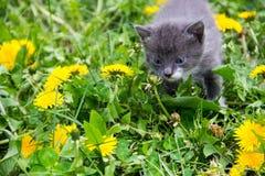Малый котенок в желтых цветках одуванчика Стоковая Фотография