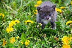 Малый котенок в желтых цветках одуванчика Стоковое фото RF