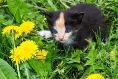 Малый котенок в желтых цветках одуванчика Стоковые Изображения
