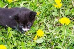 Малый котенок в желтых цветках одуванчика Стоковое Фото