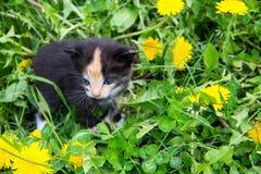 Малый котенок в желтых цветках одуванчика Стоковые Фото