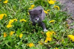 Малый котенок в желтых цветках одуванчика Стоковое Изображение RF