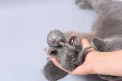 Малый котенок в руках женщины Стоковая Фотография