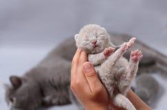 Малый котенок meows в руках женщины Стоковые Фото