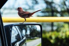Малый красный кардинал стоковое фото