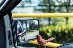 Малый красный кардинал стоковые фотографии rf