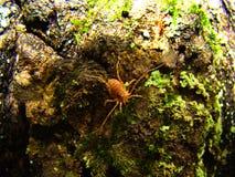 Малый красный паук спрятал на расшиве дерева Стоковое Изображение RF