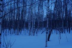 Малый лес дерева березы в голубой зиме Стоковая Фотография
