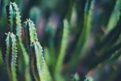 Малый макрос кактуса, крупный план завода кактуса Стоковые Фото