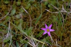 Малый, неброский цветок шарлаха прячет в зеленой траве стоковая фотография