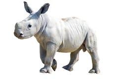 Малый носорог на белой предпосылке в парке живой природы в Fra Стоковая Фотография RF