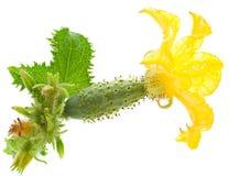 Малый огурец с цветком Стоковые Изображения RF