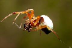 Малый паук ест насекомое Стоковые Изображения