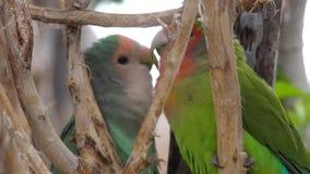 Малый попугай в национальном парке сток-видео
