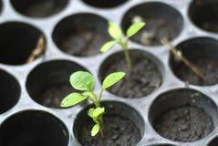 Малый растущий завод томата на питомнике Стоковая Фотография