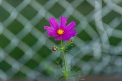 Малый розовый цветок зацветая в саде Стоковые Изображения RF