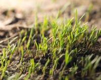 Малый росток травы в почве в природе Стоковые Изображения RF