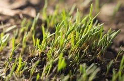 Малый росток травы в почве в природе Стоковые Фотографии RF