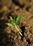 малый росток Стоковое Фото