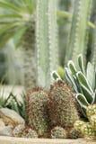 Малый сад кактуса в баке Стоковые Фото