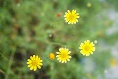 Малый сад цветков желтого цвета макроса Стоковые Изображения RF