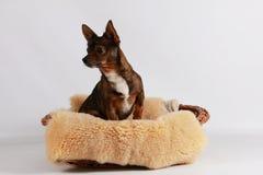 Малый смешанный портрет собаки в студии стоковые фотографии rf