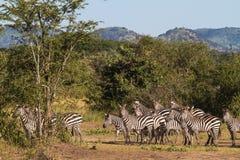 Малый табун зебр в саванне Serengeti, Африка Стоковая Фотография RF