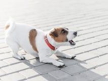 Малый терьер Рассела jack собаки в красном ходе воротника, скачущ, играющ и лаяющ на серой плитке тротуара на солнечном стоковое фото rf