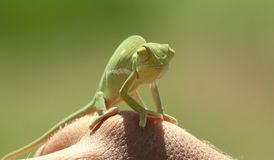 Малый хамелеон Стоковые Фото