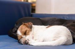 Малый чистоплеменный терьер Джека Рассела собаки спать на кресле рядом с большим amstaff черной собаки Обнятый и любить стоковая фотография
