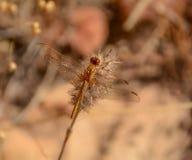 Малый Dragonfly шарлаха стоковая фотография rf
