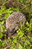 Малый hedgehog проползая через траву стоковое фото
