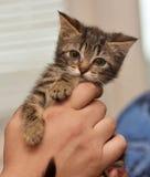 Малый striped котенок Стоковые Фотографии RF