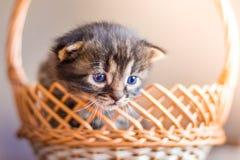 Малый striped кот смотрит из корзины Киска в корзине fo Стоковое Изображение