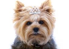 малый terrier yorkshire Стоковые Изображения