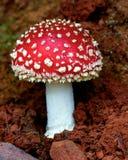 Малый toadstool muscaria Amanita Стоковое Фото