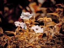 3 малых белых цветка петуньи Стоковое Изображение