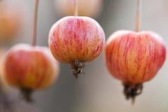 3 малых зрелых applest на ветви Стоковое Изображение RF