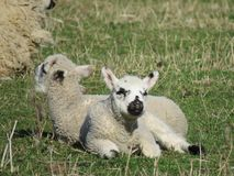 2 малых овечки лежат в солнце на луге стоковые изображения
